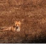 Rödräv  (Vulpes vulpes)