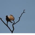 Tornfalk (Falco tinnunculus)