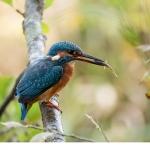Kungsfiskare (Alcedo atthis)