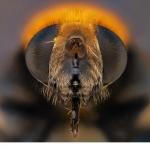 Mörkslamfluga (Eristalis intricaria)