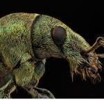 Lövvivel (Phyllobius maculicornis)