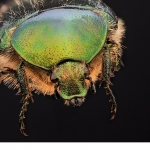Olivgrön-guldbagge (Potosia cuprea)