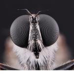 Rovfluga (Tolmerus atricapillus)