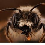 Sälgsandbi (Andrena vaga) hane