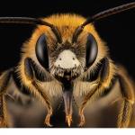 Väddsandbi (Andrena hattorfiana) hane