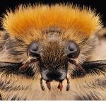 Humlebagge (Trichius fasciatus)