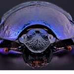 Skogstordyvel (Anoplotrupes stercorosus)