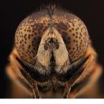 Tångslamfluga (Eristalinus aeneus)