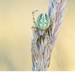 Brokig-hjulspindel (Neoscona adianta)