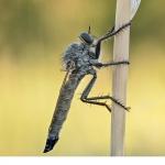 Rovfluga (Didysmachus picipes)