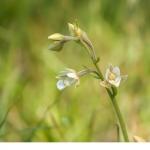 Kärrknipprot (Epipactus palustris)