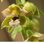Skogsknipprot (Epipactis helleborine)