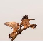 Tornfalk (Falco tinnunculus