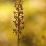 Spindelblomster (Listera cordata)