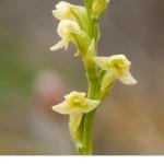 Lappfela (Platanthera obtusata)  Lappyxne