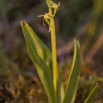 Gulyxne (Liparis-loeselii)
